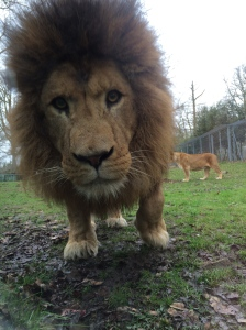 Right before the lovely lion tried to kill me